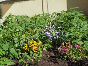 Shalomis juhtub kõike. Näiteks hakkasid lillepeenral ootamatult kasvama tomatid.